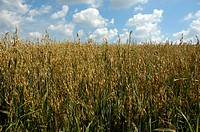Field with oat