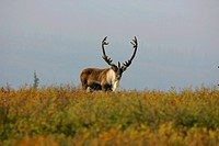 Caribou Rangifer tarandus in the Denali National Park Alaska USA