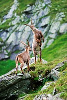 Fighting Ibexes (Capra ibex), Groß Glockner, nationalpark Hohe Tauern, Austria
