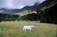 White horse on meadow in the background the Texel mountain range South Tirol Italy