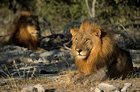 Male lion lying with a second lion in the background Etosha Namibia