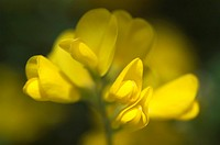 Cytisus gorse pea family spring
