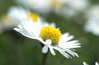 Daisy bellis perennis bloom
