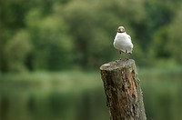 Black-headed Gull Larus ridibundus, sitting on a wooden pole