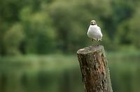 Black-headed Gull (Larus ridibundus), sitting on a wooden pole