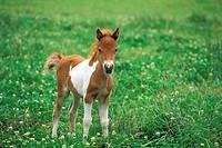 Shetland Pony - 10-days-old foal PR