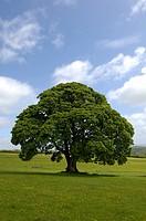 Maple tree South Devon England Grossbrittanien