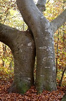 Two trunks of beeches in autumn