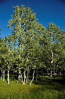 Birch forest Mongolia