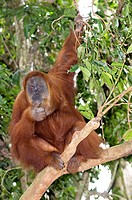 Sumatran orangutan Pongo abelii. The orangutan is an arboreal tree_dwelling great ape endemic to Sumatra. It is a solitary animal, meeting others only...