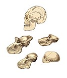 Primate skulls. 19th century artwork of a human skull top and those of four different primates, showing the anatomical differences. This image is from...