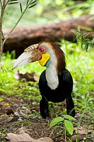 Male wreathed hornbill Aceros undulatus. This arboreal tree_dwelling bird is found in tropical mainland Asia, and throughout the Greater Sunda Islands...