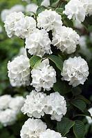 Japanese snowball Viburnum plicatum ´Plicatum´ flowers.