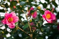Camellia flowers Camellia japonica.