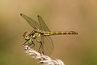 Heath dragonfly (sympetrum striolatum), female