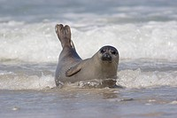 Common seal in surf