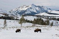 Bison in front of mountains in Yellowstone National park