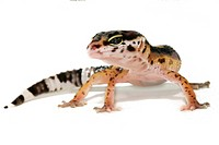 Eopard gecko (Eublepharis macularius)