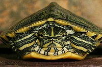Tortoise (Trachemys scripta scripta)