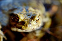Common European toad Bufo bufo portrait