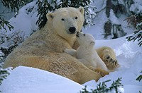 POLAR BEAR mother & young outside den in snow. Ursus maritimus. Canada