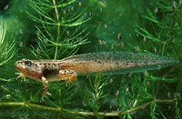 COMMON FROG tadpole Rana temporaria four_legged stage surrounded by waterfleas Daphnia sp.