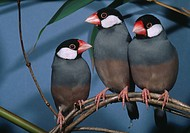 JAVA SPARROWS group. Padda oryzivora. Native to Java & Bali