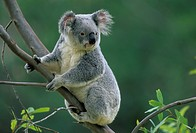 KOALA in eucalyptus tree. Phascolarctos cinereus. Australia.