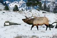 Bull wapiti taking the scent of a rival