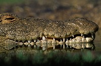 NILE CROCODILE showing teeth adapted for catching and holding prey. Crocodylus niloticus. Africa