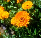 pot marigold / Calendula officinalis