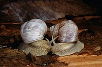 EDIBLE SNAIL or ROMAN SNAIL two in courtship. Helix pomatia.