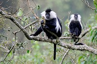 Eastern black and white colobus monkey (Colobus guereza) Nyunguwe National Park, Rwanda, Africa