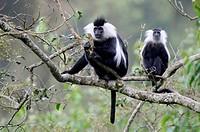 Eastern black and white colobus monkey (Colobus guereza) Nyunguwe National Park, Rwanda, Africa