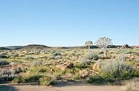 High angle view of Quiver tree Aloe dichotoma in bushveld. Namibia.