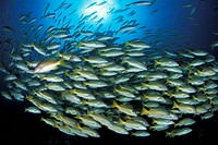 Shoal of blue and gold snapper. Lutjanus viridis. Sea of Cortez. Baja California. Mexico. East Pacific Ocean