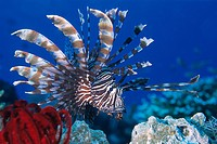 Common lionfish. Pterois volitans. Komodo archipelago islands. Komodo National Park. Indonesia. Pacific Ocean