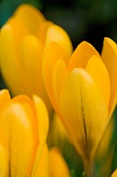 crocus _ blossoms / Crocus