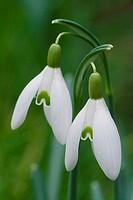 common snowdrop / Galanthus nivalis
