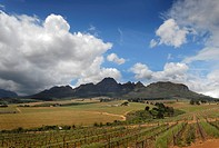 Vineyards set against the Helderberg Mountains, Somerset West, Western Cape Province, South Africa