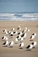Black_backed gulls Larus marinus standing on the beach, Oyster Bay, Southern Cape, South Africa