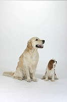 Golden Retriever and Cavalier King Charles Spaniel