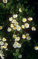 Dog Rose _ blossoms