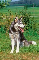 siberian husky _ sitting on meadow