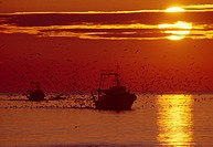 TRAWLERS at sunset with large flock of seabirds. Sete, Herault, southern France
