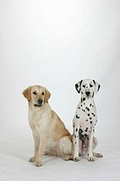 Dalmatian and Golden Retriever