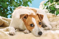 Jack Russell Terrier _ lying on blanket