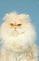 Persian cat silver_shaded _ sitting _ cut out