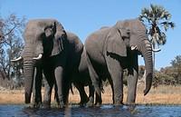 Herd of African Elephants Loxodonta africana drinking at a waterhole. Okavango Delta, Botswana, Africa