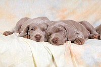 two Weimaraner puppies _ lying on Sofa